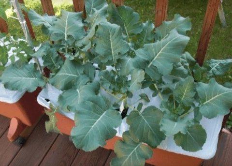 Hướng dẫn cách trồng và chăm sóc súp lơ xanh tại nhà cho năng suất cao