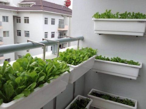 Hướng dẫn cách trồng rau sạch ở ban công ăn quanh năm