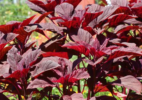 Những loại rau phổ biến trồng tại nhà lớn nhanh như thổi