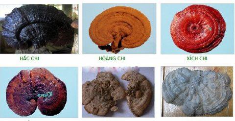 phân loại nấm linh chi và loại nấm linh chi tốt nhất hiện nay?