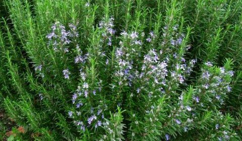 8+ Tác dụng của cây hương thảo có thể bạn chưa biết