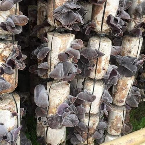 cách trồng nấm mộc nhĩ